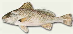 Atlantic Croaker or hardhead
